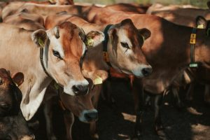 jersey koe in de stal