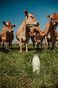 jersey koe in de weide